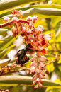 Hummingbirds in flight drink nectar from the flower Stock Photo