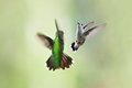 Hummingbirds mating dance two beautiful in flight doing their playful or fighting on a green blurred background of vegetation Royalty Free Stock Image