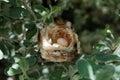 Hummingbirds nest with eggs