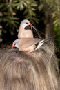 Humor bad hair day you know you are having a when two birds trying to nest on your head pair of shaft tail finch poephila Stock Images