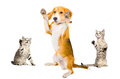 Humorous photo dog surrenders two attackers cats isolated on white background Stock Image