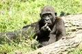 Humourous Gorilla