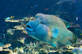 Hump-headed Maori Wrasse Stock Photography