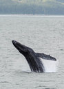 Humpback Whale breaching Royalty Free Stock Photo