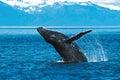 Humpback whale breaching (Megaptera novaeangliae), Alaska, South Royalty Free Stock Photo