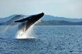 Humpback Whale Breaching, Whitsundays, Australia Royalty Free Stock Photo