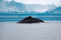 Humpback whale fin with iceberg in background Stock Photography