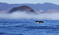Humpback Whale Flukes at Morro Rock and Fog Royalty Free Stock Photo