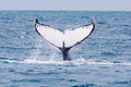 Humpback whale jubarte of abrolhos islands in bahia state brazil Stock Photography