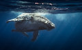 Humpback whale - Reunion island 2104. Royalty Free Stock Photo