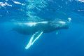 Humpback Whale at Surface of the Caribbean Sea Royalty Free Stock Photo