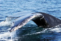 Humpback Whale Tail 3 Stock Image