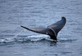 Humpback whale tail in antarctic waters Stock Photography