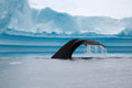 Humpback whale tail with iceberg in background Stock Images