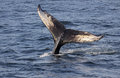 Humpback whale tail the of a megaptera novaeangliae shot off the coast of maine usa Stock Image