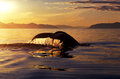 Humpback whale tail at sunset (Megaptera novaeangliae), Alaska, Royalty Free Stock Photo