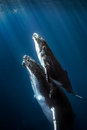 Royalty Free Stock Images Humpback whales