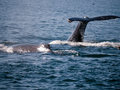 Humpback whales close encounter closeup at a whale watching tour in monterrey california Stock Photos