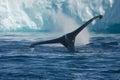Humpback whales feeding among giant icebergs, Ilulissat, Greenla Royalty Free Stock Photo