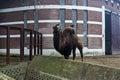 Humped camel at belgrade zoo serbia Stock Image