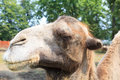Humped camel in the Zoo Royalty Free Stock Photo