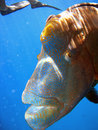 Humphead Maori Wrasse, Australia Stock Photos