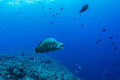 Humphead wrasse Royalty Free Stock Photo