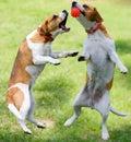 Hundar som leker tv� Royaltyfri Foto