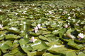 Hundreds of lily pads and flowers Royalty Free Stock Photo