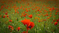 Hundreds of poppies Royalty Free Stock Photo