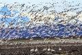 Hundreds Snow Geese Taking Off Flying Washington Royalty Free Stock Photo