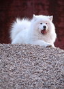 Hundsamoyed Royaltyfria Foton