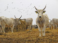 Hungarian Grey Cattle Royalty Free Stock Photo