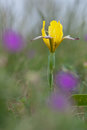 Hungarian Iris Iris Variegata