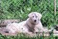 Hungarian kuvasz captive puppy dog lying behind fence Royalty Free Stock Photo