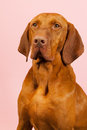 Hungarian or magyar vizsla isolated over blue background Stock Photos