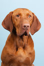 Hungarian or magyar vizsla isolated over blue background Stock Image