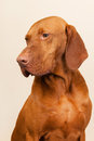 Hungarian or magyar vizsla isolated over cream background Stock Image