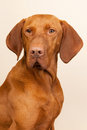 Hungarian or magyar vizsla isolated over cream background Stock Images