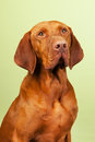Hungarian or magyar vizsla isolated overgreen background Royalty Free Stock Photo