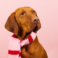 Hungarian or magyar vizsla in winter dressed for the isolated over blue background Royalty Free Stock Images