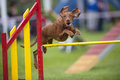 Hungarian Vizla jumping over yellow hurdle on agility competition recreation Royalty Free Stock Photo