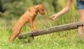 Hungarian Vizsla dog training Royalty Free Stock Photo