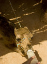 Hungry Baby Camel Stock Photos