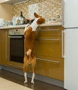 Hungry basenji dog having a look at kitchen bar and delighting beings home alone Stock Image