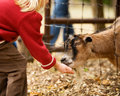Hungry Billy Goat Stock Photography