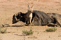 Hungry black backed jackal eating on carcass a hollow in the dry desert Royalty Free Stock Image