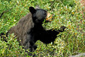 Hungry black bear Royalty Free Stock Photo
