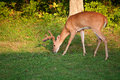 Hungry buck whitetail with antlers in velvet grazing next to the forest Stock Photography