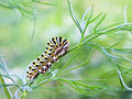 Hungry Butterfly Larvae munches Fennel Royalty Free Stock Photo